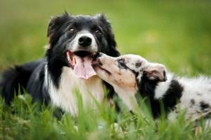 Presentando el nuevo perro al perro residente.