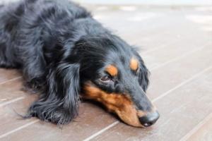 Policitemia en perros: síntomas, causas y tratamientos.