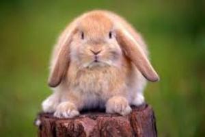 Infección bacteriana respiratoria en conejos