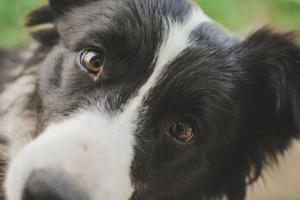 Defecto del ojo de Collie en perros