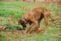 La suciedad en los perros que cavan