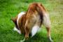¿Pueden los perros contraer hemorroides?.