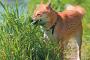 ¿Por qué su perro come hierba? 4 razones