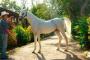 Inflamación renal en caballos