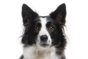 Vómitos de sangre en perros