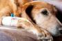 Cáncer de tiroides (adenocarcinoma) en perros