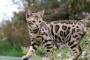 Cat Bengala