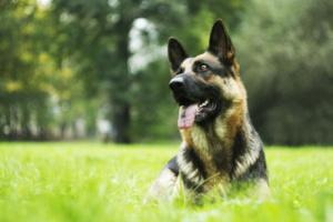 ¿Por qué los perros de raza son más propensos a enfermedades genéticas?