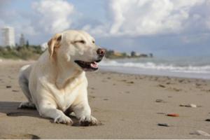 3 cosas que todo dueño de Labrador Retriever debe tener en cuenta