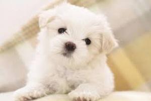 Sinequias en perros