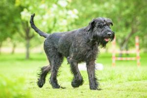 Falta de absorción de vitamina B12 en perros