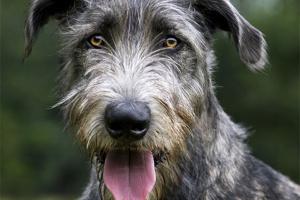 Todo sobre un Irish Wolfhound