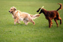 Proteja a su perro de los bullies del parque para perros