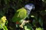 Los Pionus (loros) de cabeza azul