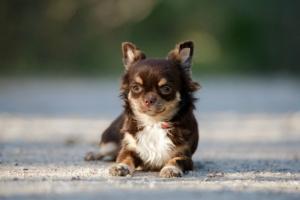 Anemia por deficiencia de hierro en perros