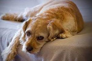 ¿Pueden los perros tener resfriados?