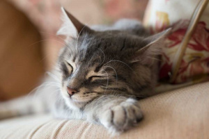 4 tipos de cáncer de gato y sus síntomas comunes