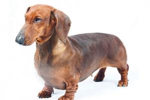 Perro tejonero(Daschund)