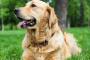 Oxígeno sanguíneo bajo en perros