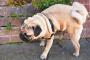6 enfermedades urinarias en perros