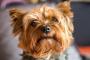 Desvíos del hígado en los perros: lo que usted necesita saber.