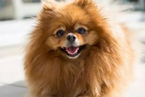 Lista de algunos perros pequeños más populares