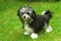 Cáncer de hueso (fibrosarcoma) en perros