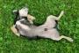 Hernia (diafragmática) en perros