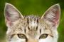 Ácaros del oído en los gatos