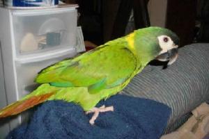 Comida y ejercicio de las aves de color amarillento