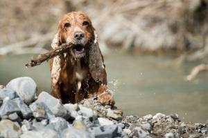 Pitiosis en perros