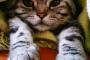 Enfermedad inflamatoria intestinal felina (EII felina)