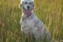 Osteocondritis Dissecans (OCD) en perros