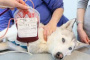 Reacciones de transfusión de sangre en perros