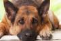 Tres condiciones comunes en perros mayores