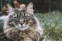 Envenenamiento por mordedura de araña viuda negra en gatos