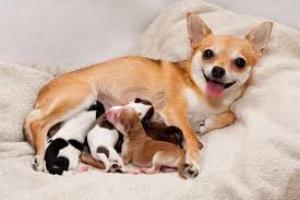 Retención de partos en perros