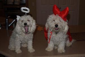 El glomérulo en perros