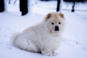 Neumonía Intersticial En Perros