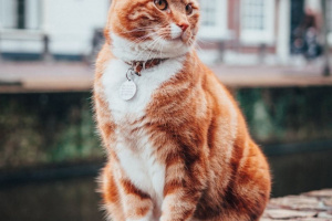 Blefaritis en gatos