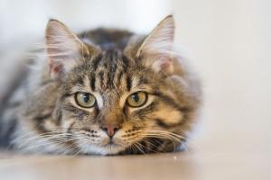 Vacunas de gato: ¿cuáles son necesarias?