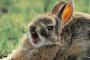 Inflamación del canal auditivo en conejos