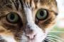 Peritonitis infecciosa felina en gatos