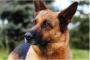 ¡Una nueva tensión de moquillo está en escena! ¿Cómo puedes proteger a tu perro?