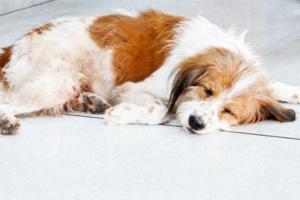 Coprofagia y cómo se relaciona con la deficiencia de enzimas digestivas en perros.