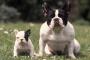 Cómo cuidar un Bulldog francés