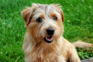Enfermedad de la caja de la voz o la laringe en perros