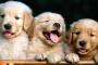 Etapas de los dientes de cachorro