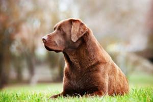 Tumor de tejido graso (benigno) en perros