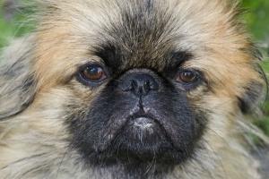 Trastornos de pestañas en perros